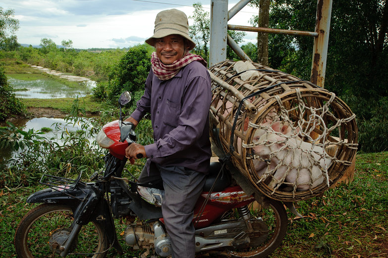 Cambodian Man on Motorbike with Pigs