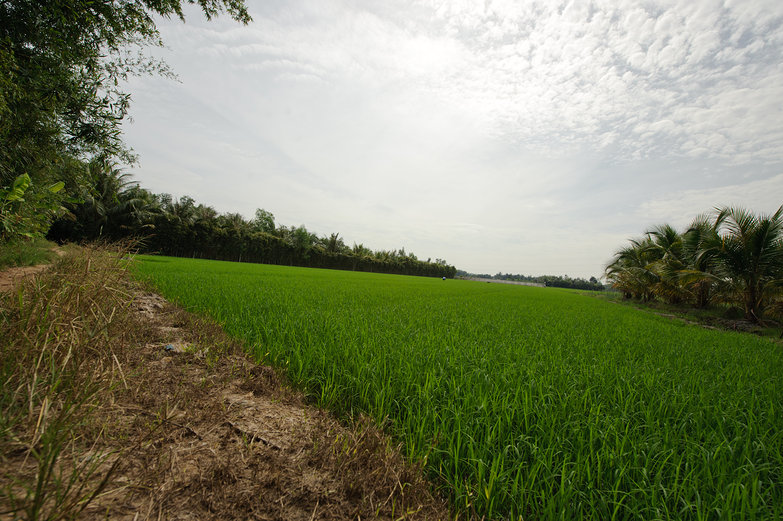 Vietnamese Rice Paddy