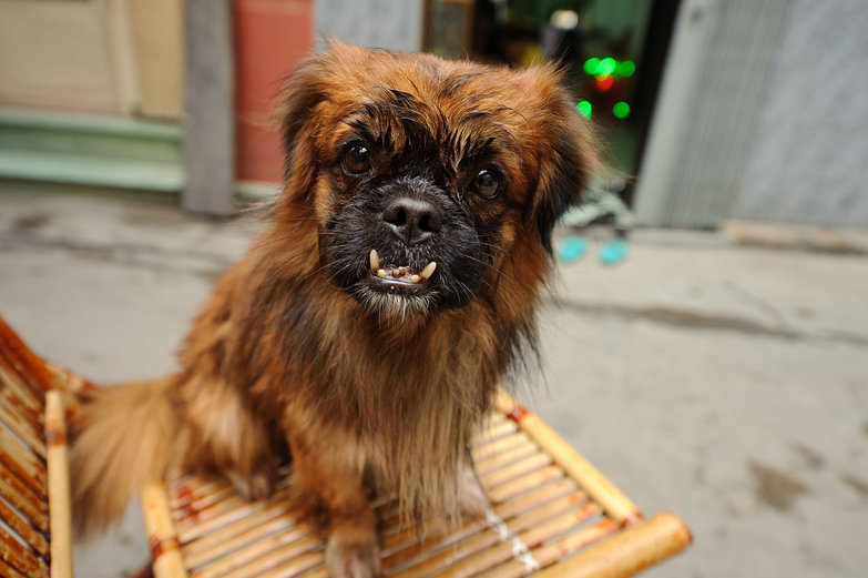 Ugly Vietnamese Dog