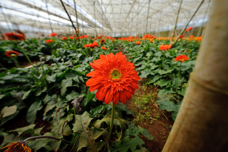 Greenhouse of Gerbera Daisies