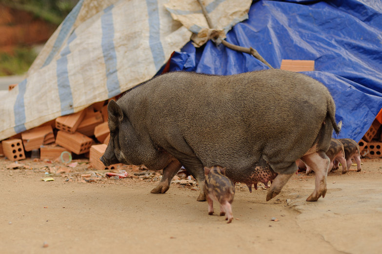 Vietnamese Pot-bellied Mama & Piggies
