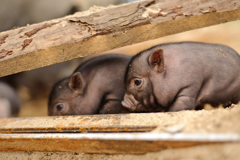Vietnamese Pot-bellied Piggies