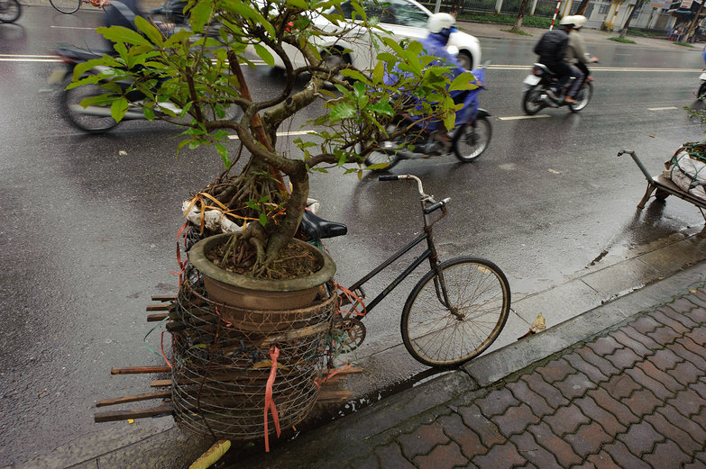Vietnamese Bonsai on a Bicycle