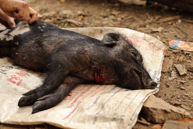 Slaughtered Piglet