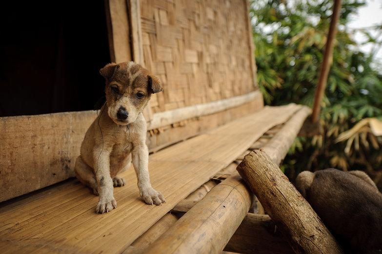 Lao Puppy