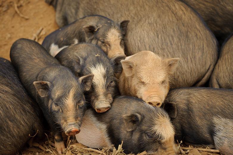 Piggie Cuddle Pile