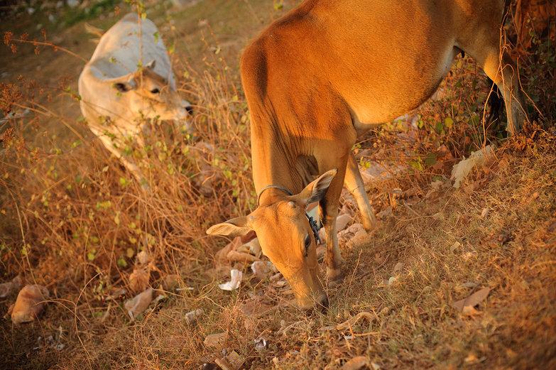 Lao Cows