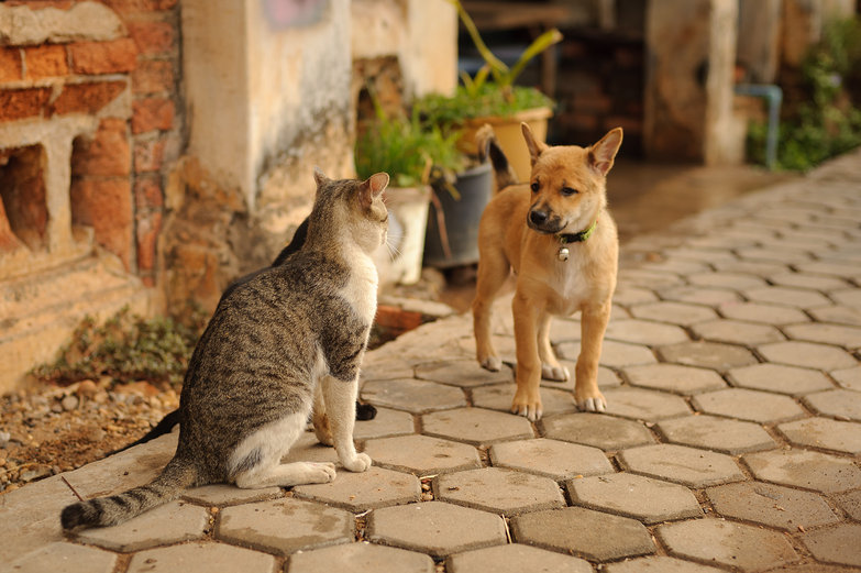 Savannakhet Cat vs. Dog