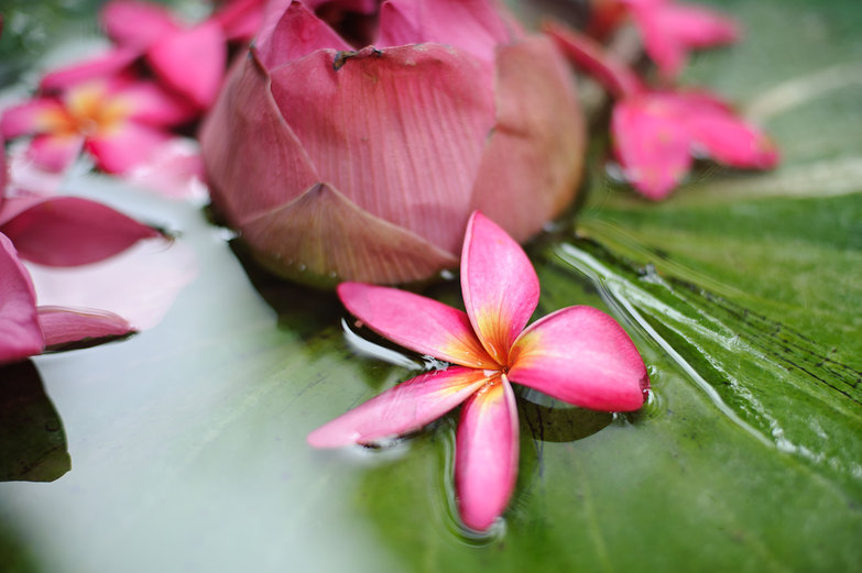 Frangipani & Lotus