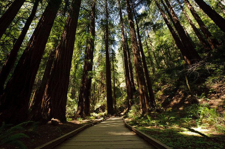 Redwoods at John Muir Woods