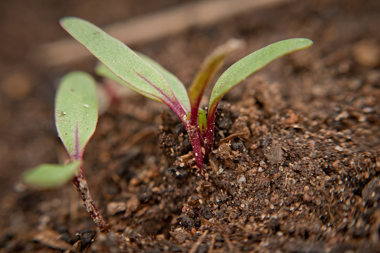 Radish Seedlings