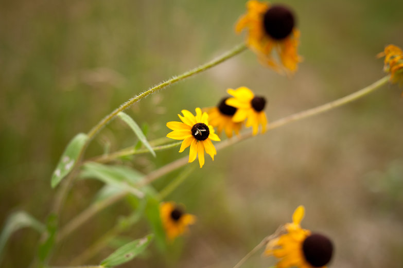 Fly on a Black-Eyed Susan