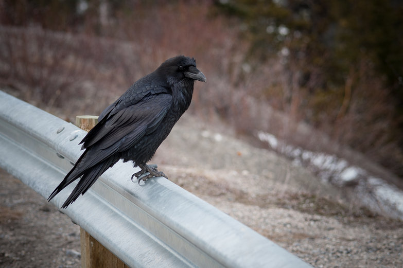 Jasper National Park Crow