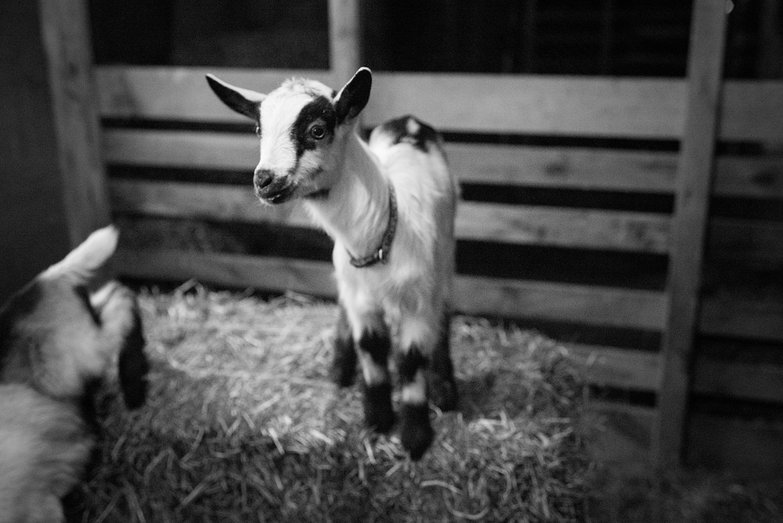 Baby Goat on a Hay Bale