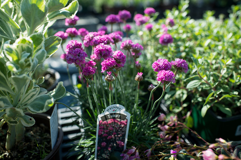 Thrift Plant