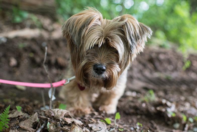 Piccina the Tiny Dog