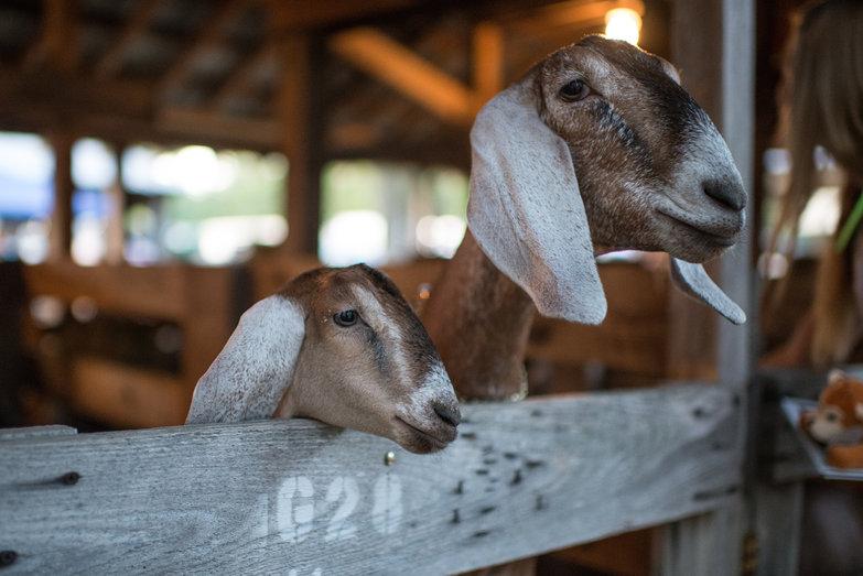 Ossipee Valley Fair Goats