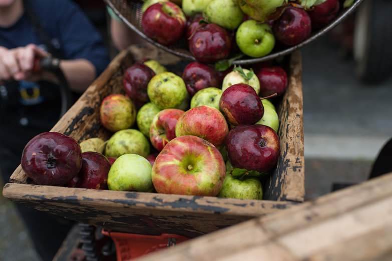 Apples in Cider Mill Hopper